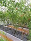 Vassbo tomatodling.jpg